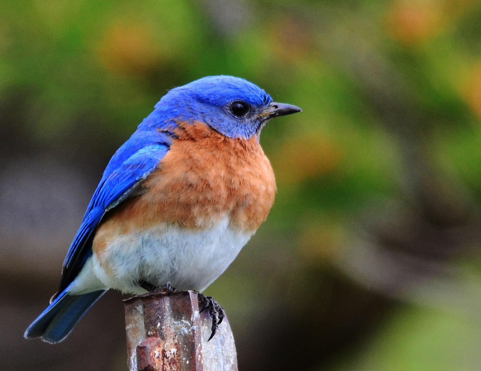 Bluebird-112